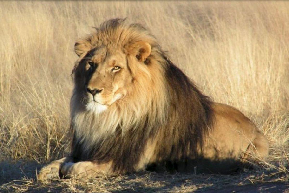 Cecil fue asesinado con arco y flecha. Foto:Vía wikipedia.org
