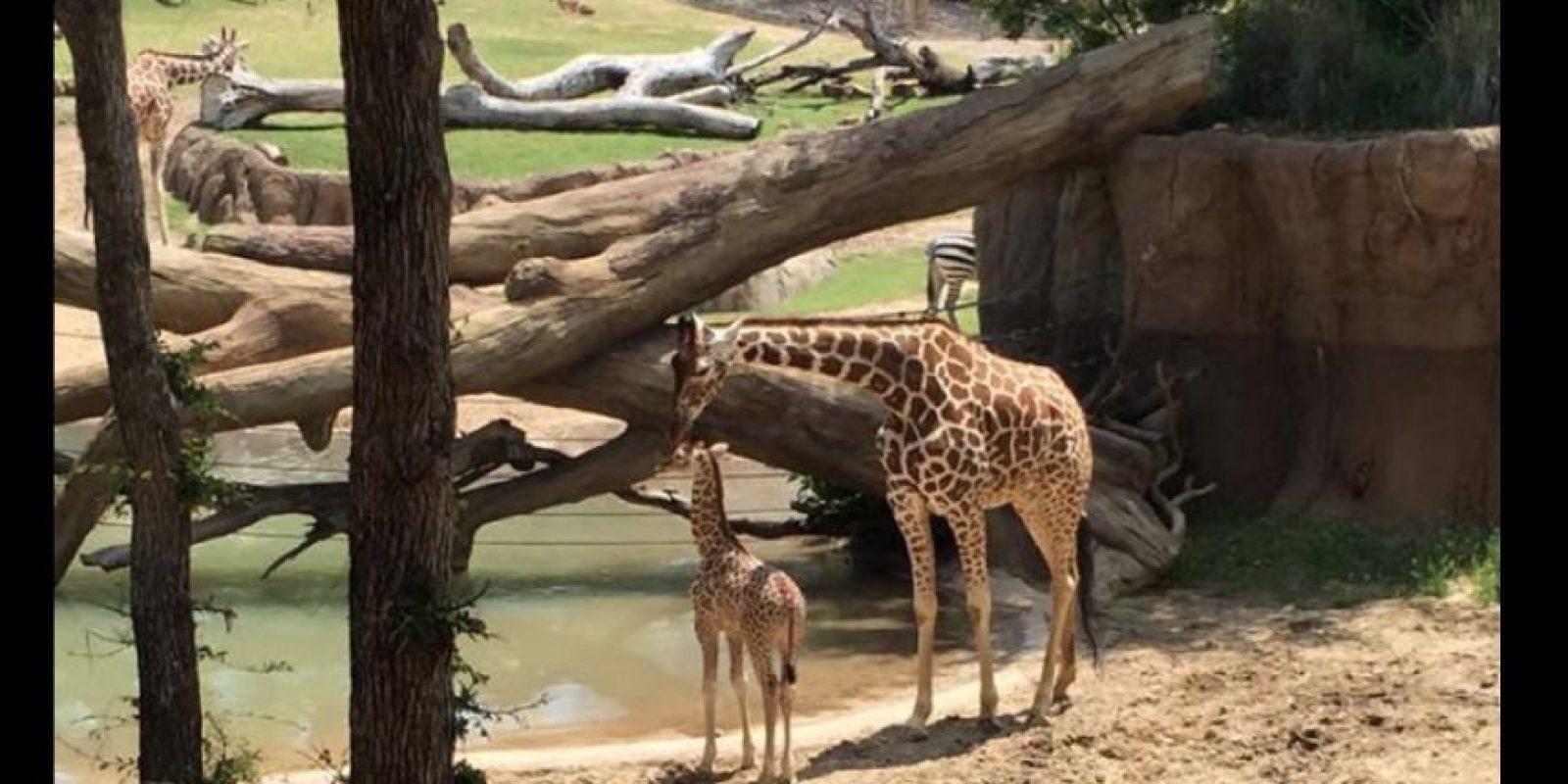 Todo ocurrió cuando chocó con el perímetro que protegía su hábitat en el zoológico. Foto:Vía facebook.com/kelly.qualls