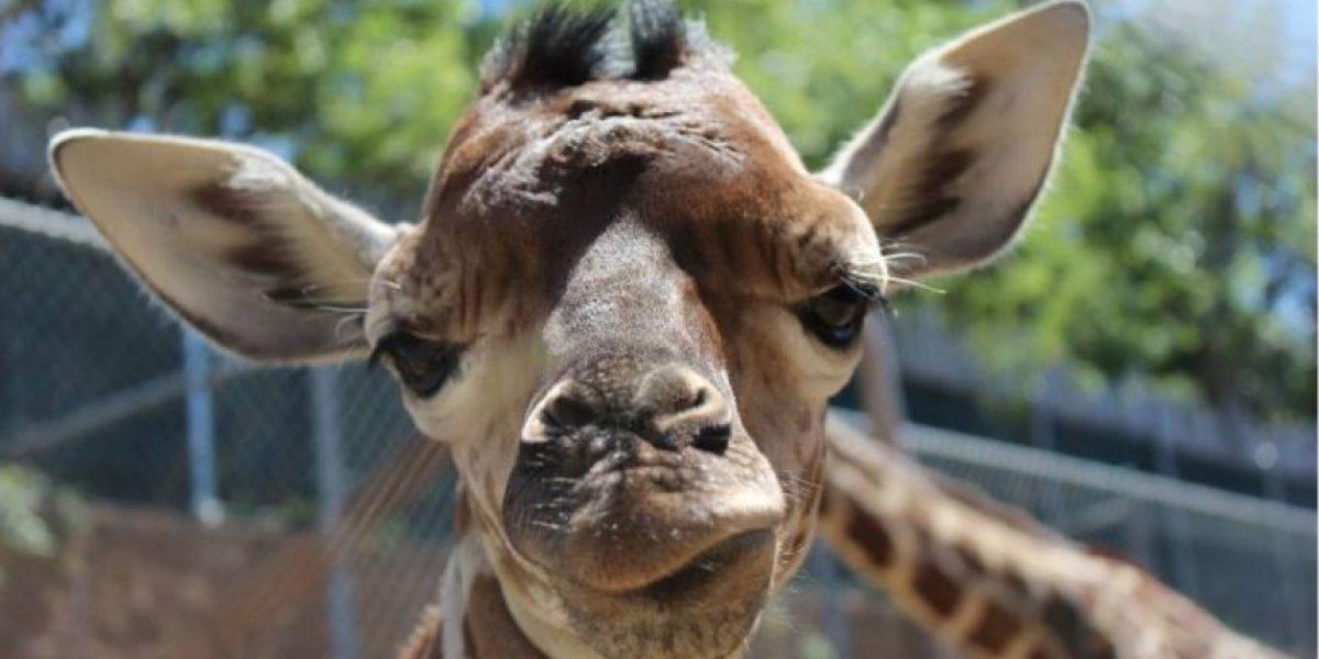 Muere la jirafa que cautivó Internet con su nacimiento