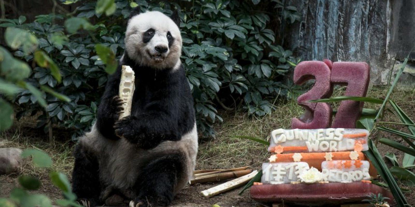 El panda Jia Jia celebrando su cumpleaños número 37. Foto:AFP