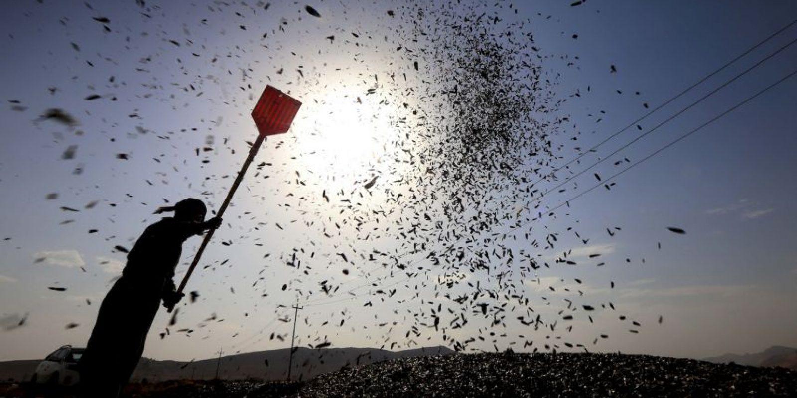 Un hombre kurdo cosecha girasoles al norte de Irak. Foto:AFP