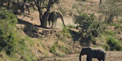 El pequeño elefante vive en el parque nacional Kruger, ubicado en Sudáfrica. Foto:Vía facebook.com/latestsightingskruger