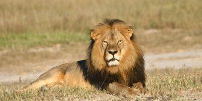 Alegadamente pagó más de 50 mil dólares para poder cazar al león. Foto:AP