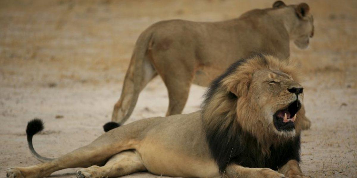 Cachorros del león Cecil en peligro después del asesinato de Jericho