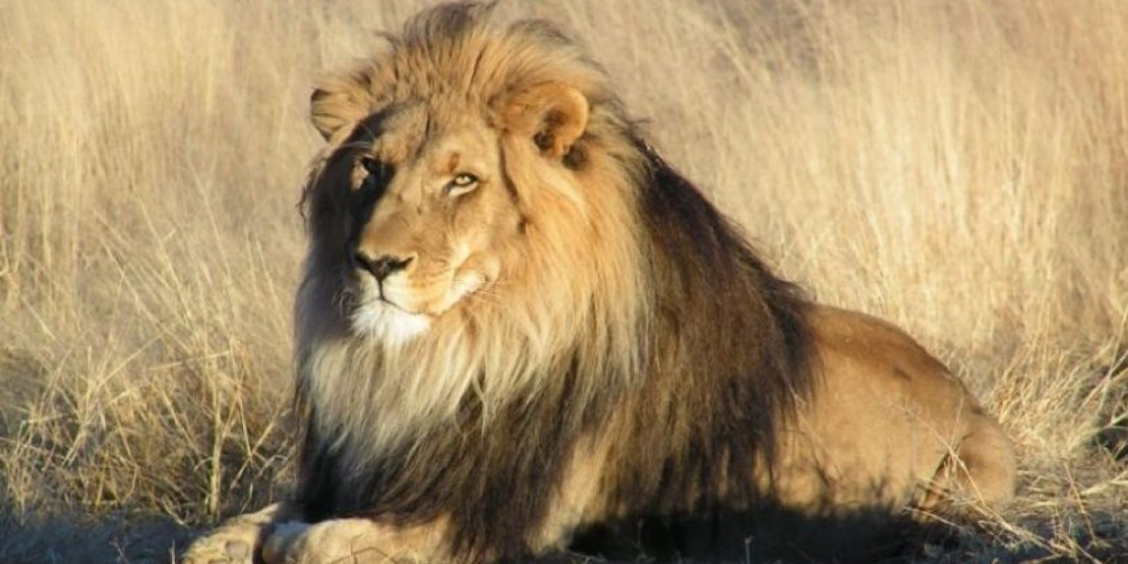 5. La muerte de Cecil, el león más famoso del mundo. Foto:Getty Images