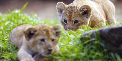 Y ha decidido proteger a los cachorros de Cecil, situación que tenía preocupados a los miembros del parque. Foto:Getty Images