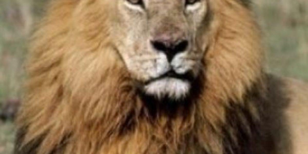 FOTOS: Cecil el león se convirtió en un tierno peluche