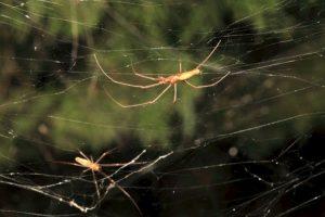 Estas son algunas de las arañas creadoras de dicha telaraña Foto: College of Agriculture and Life Sciences, Texas A&M AgriLife Extension Service