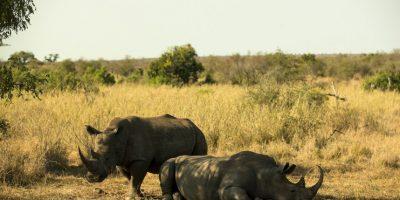 La empresa Pembient, planea hacer uso de la impresión 3D, para salvar la vida de los rinocerontes. Foto:Getty Images