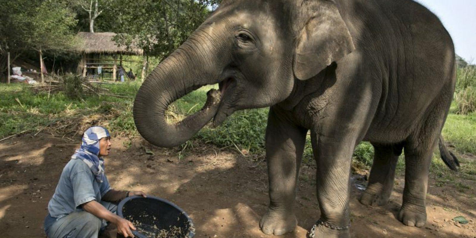 Sin embargo la especie también es víctima de casa furtiva, causada por el tráfico de marfil. Foto:Getty Images