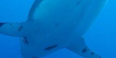 En las imágenes se muestra un enorme tiburón hembra paseando cerca de los investigadores, los cuales se quedan absortos al verla. Foto:Vía Facebook.com/amaukua