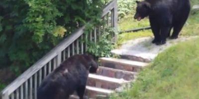 En octubre de 2014 se grabó una pelea entre dos osos negros en Nueva Jersey, Estados Unidos Foto:You Tube – Archivo