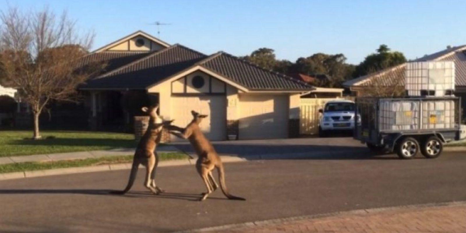 Un pareja de canguros fueron grabados mientras sostenían una insólita pelea callejera en el estado de Nueva Gales del Sur, en Australia. Foto:You Tube – Archivo
