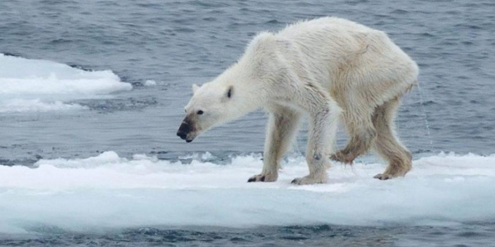 Los osos polares se han visto gravemente afectados por el cambio climático, y los investigadores están preocupados porque si continúa el calentamiento global Foto:Vía Facebook/kerstin.langenberger.photography