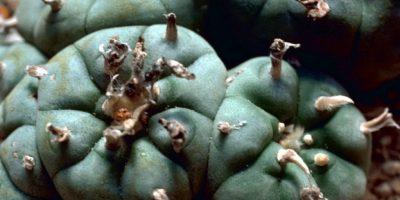 Mescalina está presente en distintos tipos de cactus. Foto:Wikipedia
