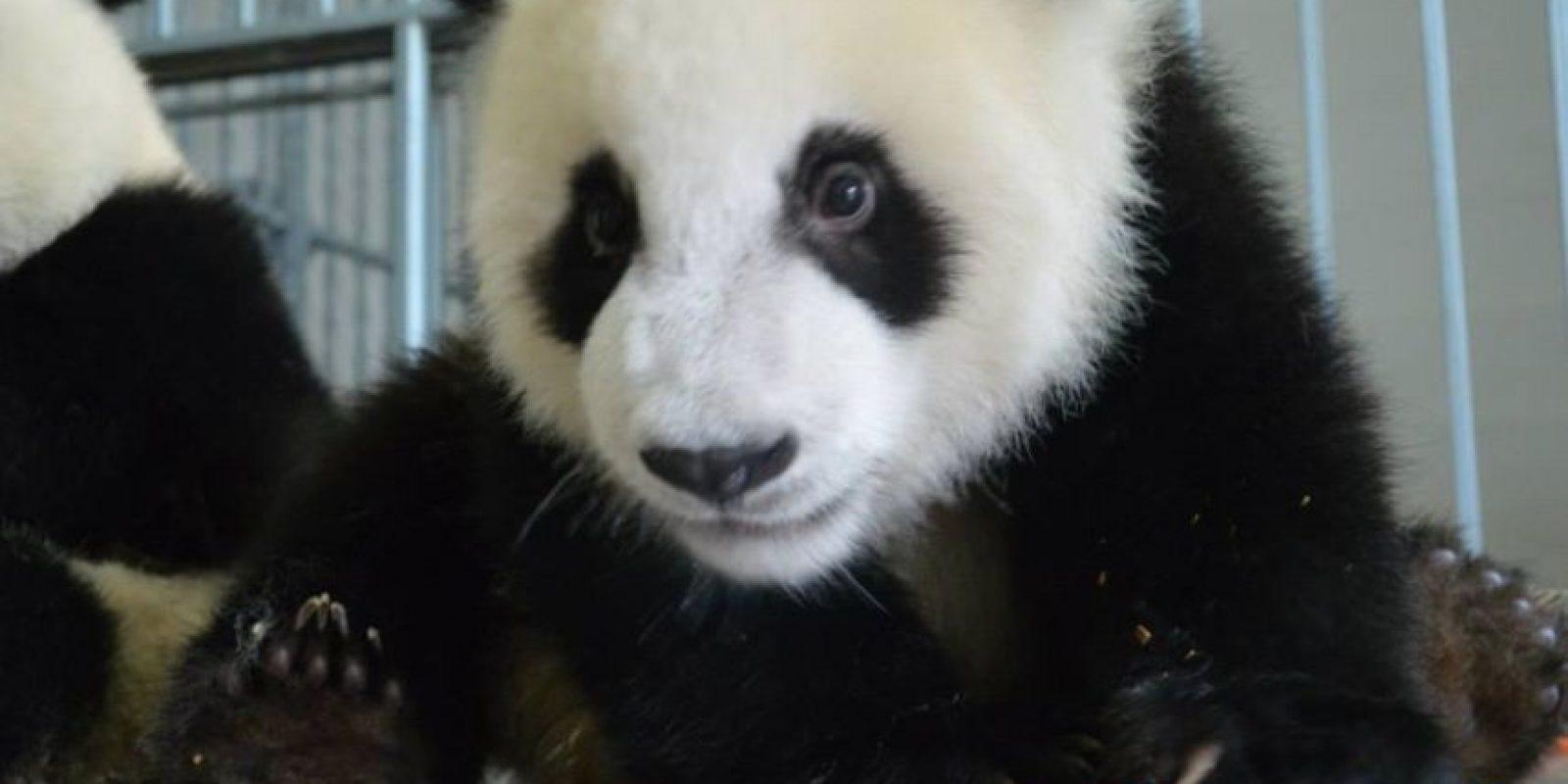 """El nombre del panda en chino significa """"gran oso gato"""" Foto:IPanda"""