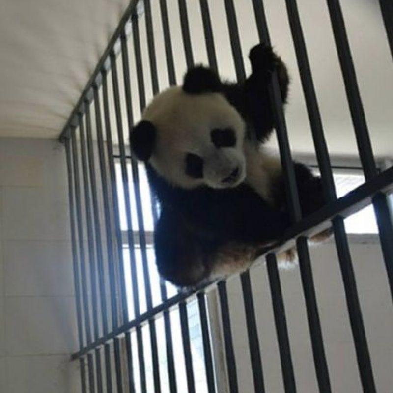 Los osos panda gigantes están en peligro de extinción. Foto:IPanda