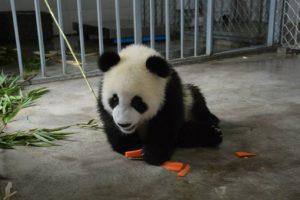 El principal alimento del panda es el bambú (en torno al 99 % de su dieta), aunque también se alimenta de frutos, pequeños mamíferos, peces, e insectos. Foto:IPanda