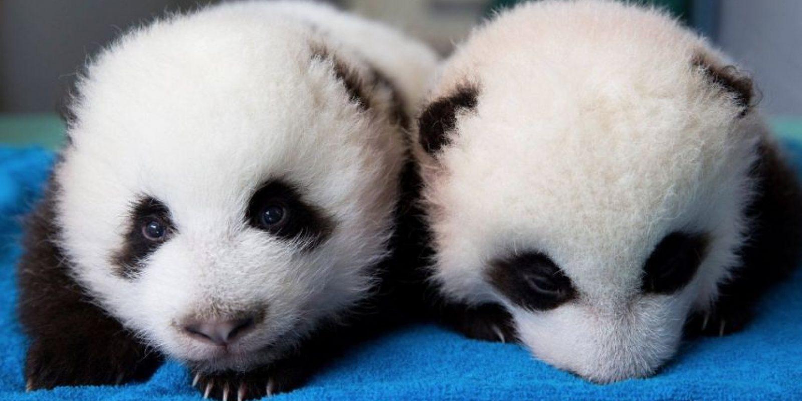 El panda se conoció en Occidente en 1869 gracias al naturalista y misionero lazarista francés Armand David. Foto:IPanda