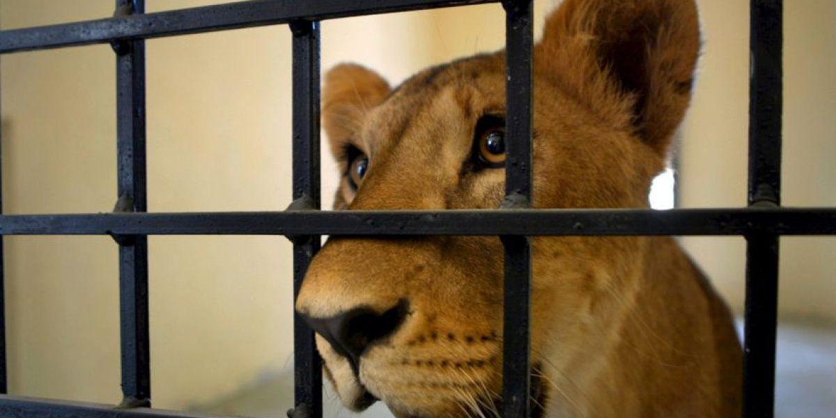 Rescatan a león que por malos cuidados quedó ciego en circo ilegal en Perú