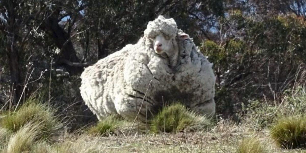 Quitan impresionante cantidad de lana de oveja que no había sido esquilada en años