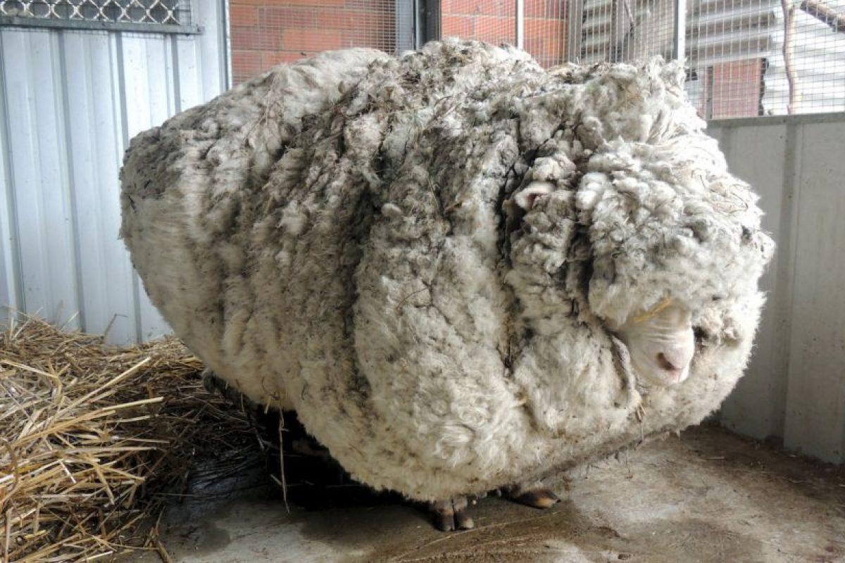 Encuentran en Australia oveja que no había sido esquilada en años. Le sacaron 40 kilos (88 libras) de lana. Foto:AFP