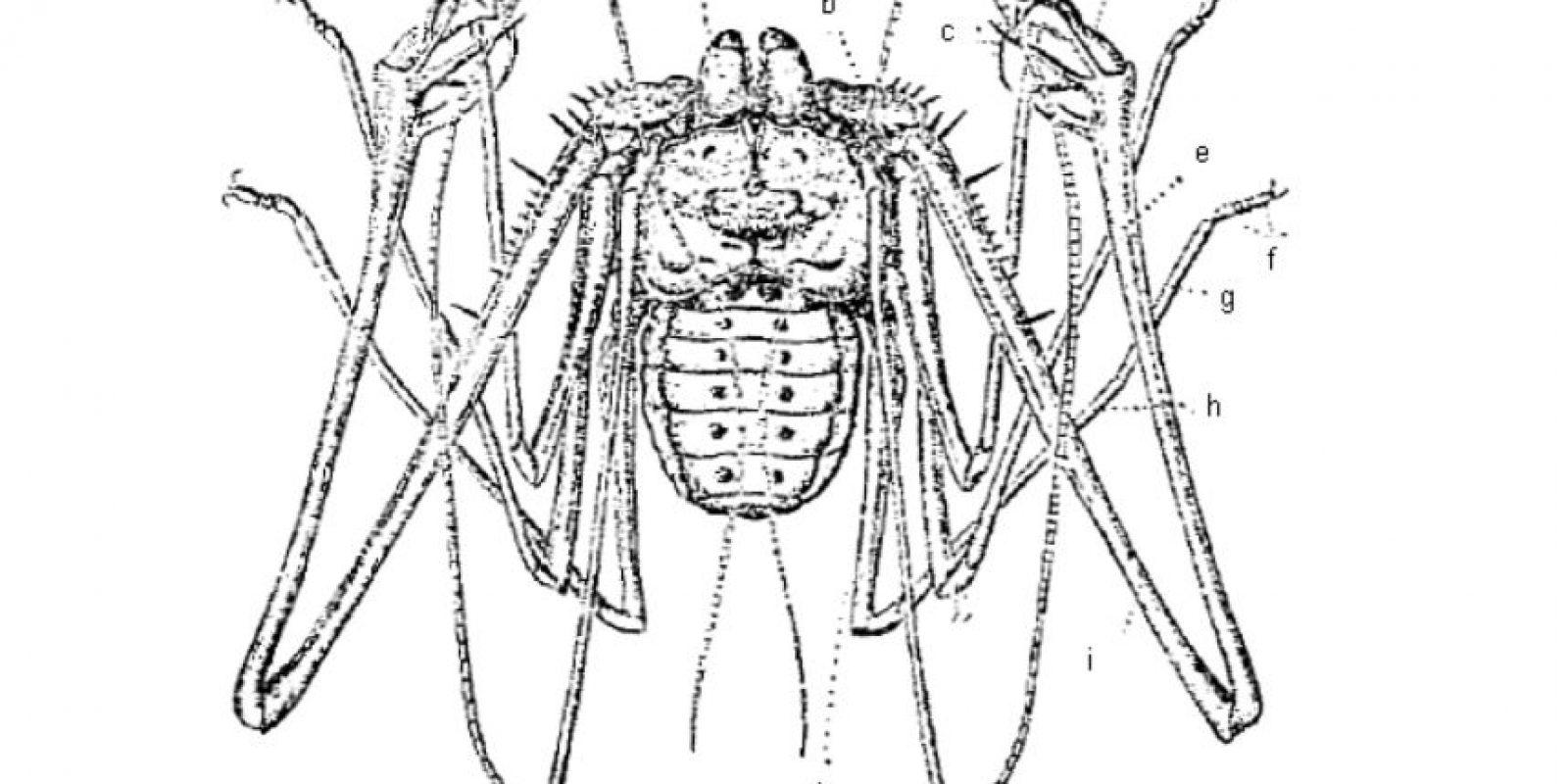 Son arácnidos, mas no arañas. Foto:vía Wikipedia