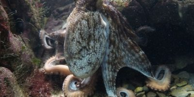 Los pulpos, junto con los calamares, las sepias y los nautilos, son cefalópodos, una clase de moluscos depredadores con una historia evolutiva que abarca más de 500 millones de años. Foto:Pinterest