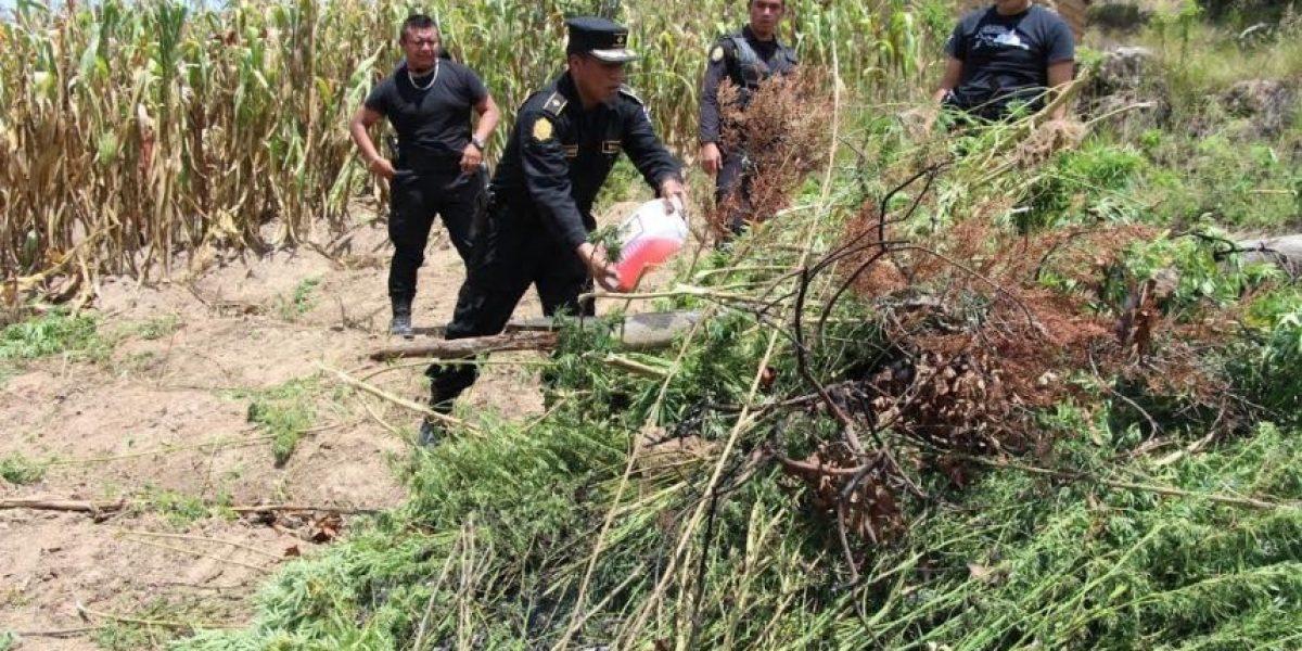 Policía erradica 200 mil matas de marihuana en Totonicapán