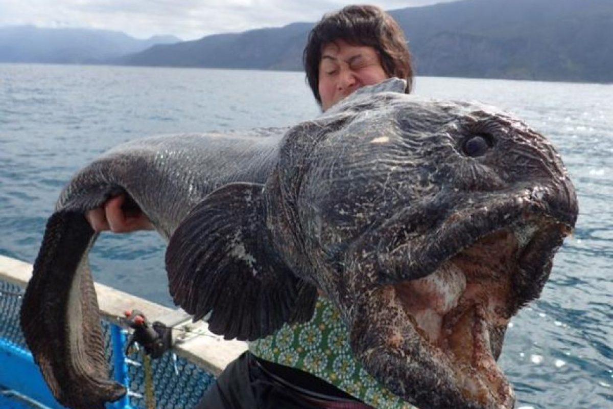 Este es el ejemplar de pez lobo atrapado en Japón. Foto:Twitter.com/hirahiroro/media