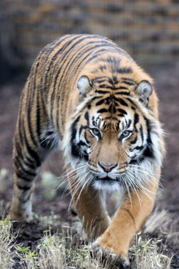 La número 1 del mundo es admiradora de los tigres. Foto:Getty Images