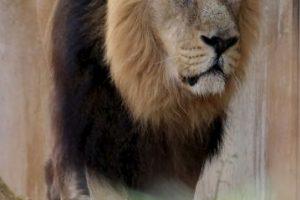 """El número 1 del mundo se identifica con un león. """"Yo sería el león, el rey de los animales"""", confesó en entrevista. Foto:Getty Images"""