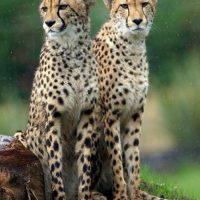 Por su velocidad, se identifica con un chita, y ama tanto a estos animales que adoptó uno de ellos abandonado en Kenya. Foto:Getty Images