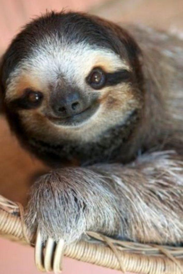 Los perezosos son mamíferos que comen hojas, esto hace que tengan poca energía y caminen con dificultad en el suelo. Foto:Pinterest
