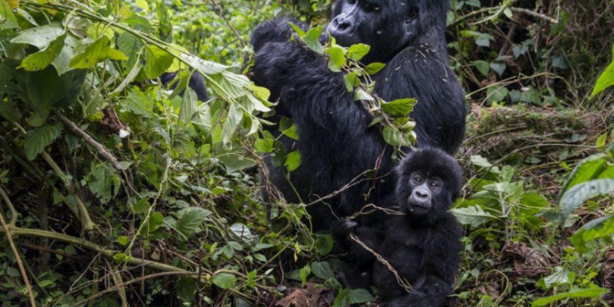 Hombre le da un abrazo a un gorila cuya madre fue cazada