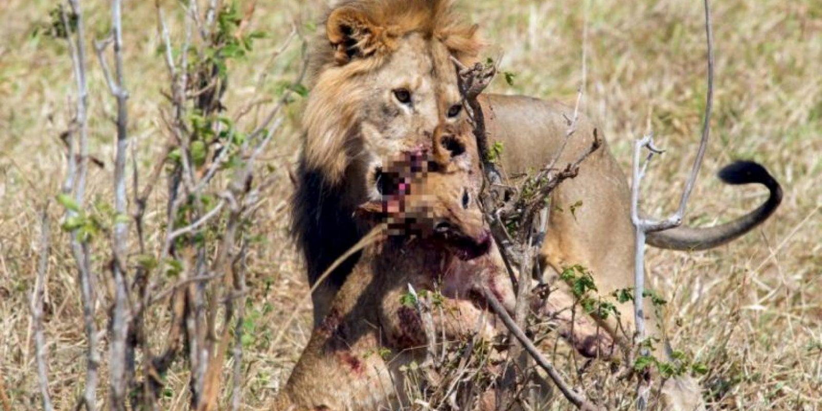 Al fin y al cabo, son presa fácil de los otros leones. Foto:vía Barcroft