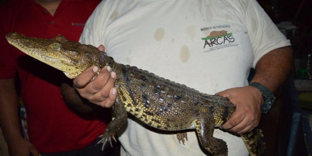 El rescate de un cocodrilo en peligro de extinción en Petén