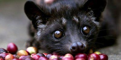 Si saben apreciar el proceso de hechura de un buen café, el Luwak excederá sus expectativas. Está hecho de las deposiciones de la civeta (este animal). Foto:vía Wikipedia