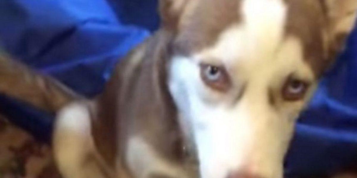 Video: Husky extraña a su dueña y así pregunta por ella