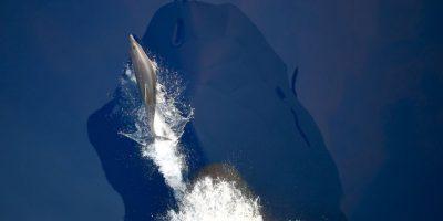 """Delfines nadan frente al buque de la marina alemana """"Werra"""" en el mar Mediterráneo. Foto:AFP"""