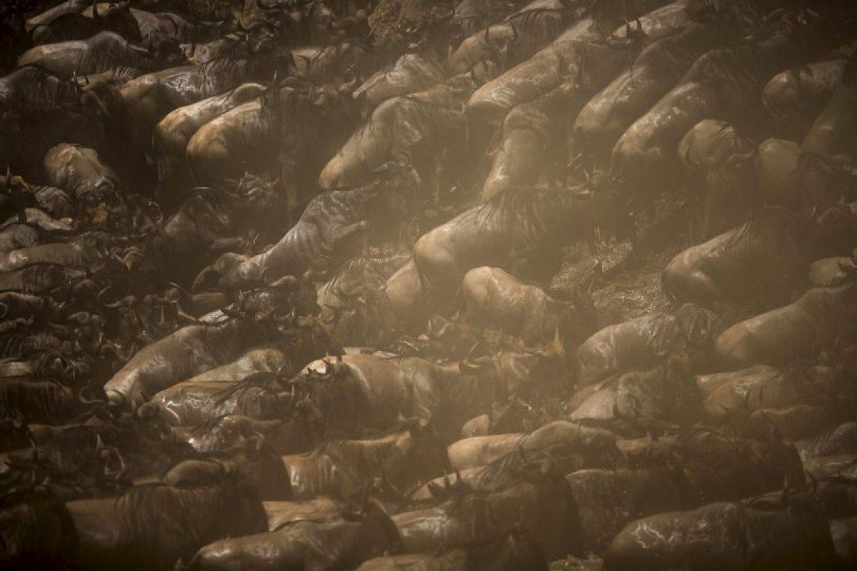 Imagen difundida por la organización Make It Kenya. Cada año, cientos de miles de ñus, cebras y otros animales migran entre Serengeti de Tanzania y de Kenia Masai Mara en un ciclo contínuo de un año. Foto:AFP / MAKE IT KENYA / STUART PRICE