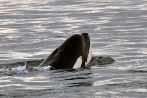 La principal y distintiva característica que podemos mencionar sobre esta especie es la aleta dorsal, que puede llegar a rozar los dos metros de largo. Foto:vía Getty Images