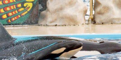 Su nombre de Ballena Asesina, fue dado por españoles en el siglo XVIII al verla atacar a cetáceos y otros mamíferos marinos de gran tamaño. Foto:vía Getty Images