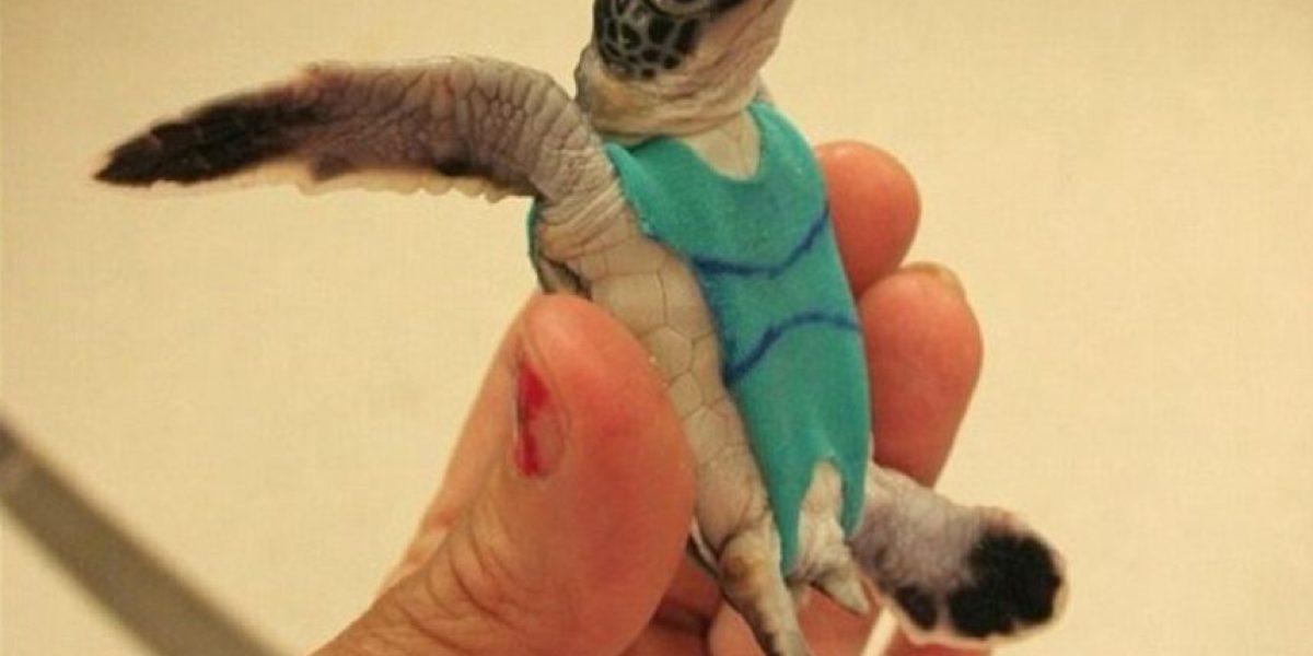 Estas tortugas usan ropa, descubran por qué