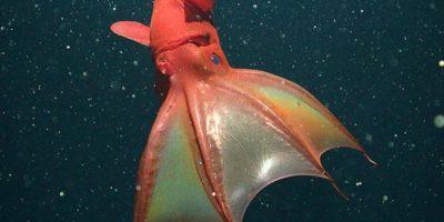 Calamar vampiro Foto:Wikimedia