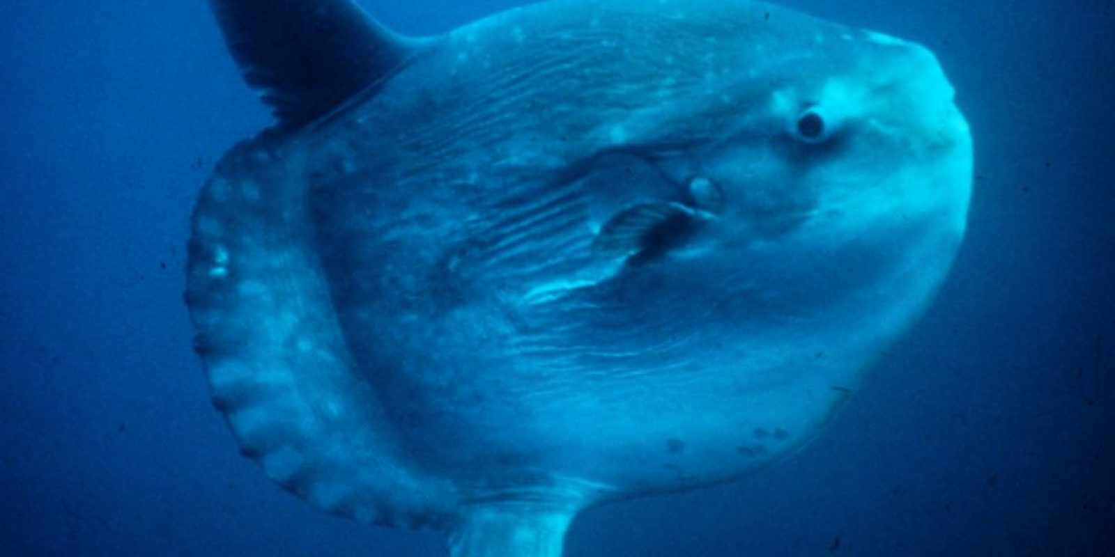 Es una especie cosmopolita que habita en aguas tropicales y templadas a lo largo de todo el planeta Foto:Wikicommons