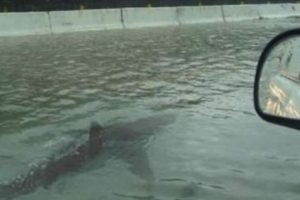 4. Cinturones no nadan opr las calles inundadas del Norte de Carolina en Estados Unidos. Foto:Vïa Facebook