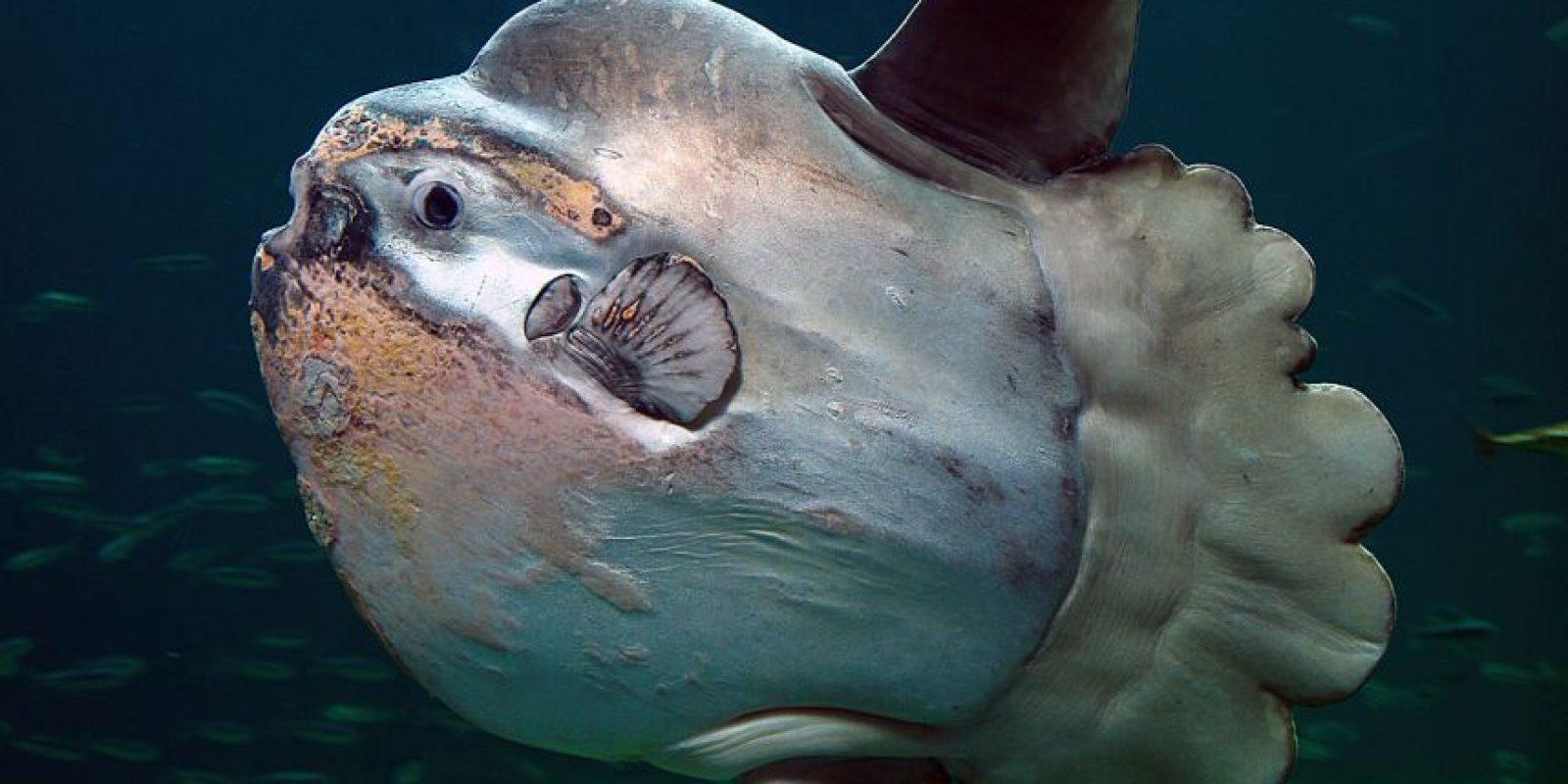 Y cuando extiende sus aletas dorsales y ventrales, es tan largo como alto Foto:Wikicommons