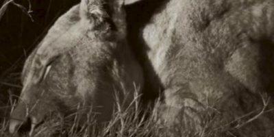 El león fue asesinado en el parque nacional Hwange. Foto:vía AFP