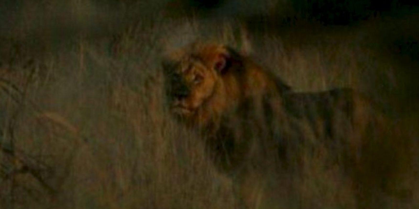 A Cecil lo mataron y no pasó nada. Foto:vía AFP